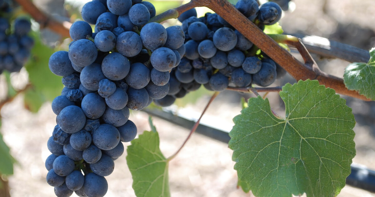 Learn More About Kosher Pinot Noir